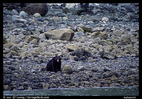 Black bear digging for clams. Glacier Bay National Park (color)