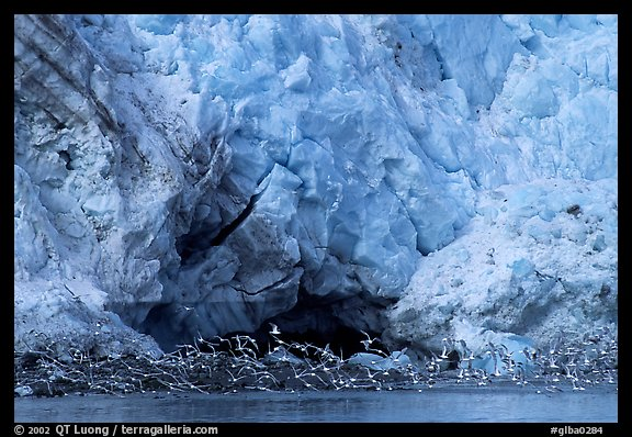 Sea birds at the base of Lamplugh glacier. Glacier Bay National Park (color)