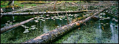Fallen logs in pond. Glacier Bay National Park (Panoramic color)