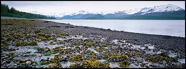 Shore with seaweed uncovered by low tide. Glacier Bay National Park (Panoramic color)
