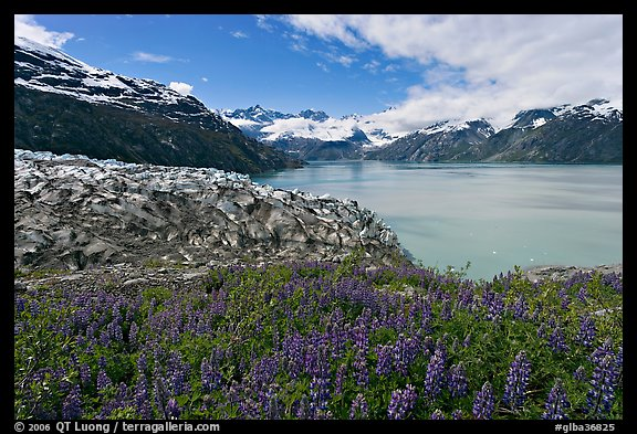 Lupine, Lamplugh glacier, and West Arm. Glacier Bay National Park (color)