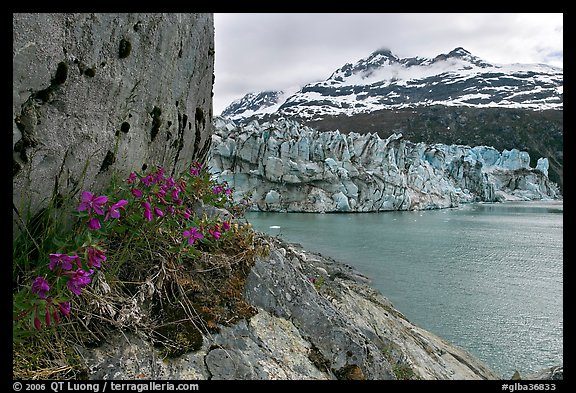 Rock ledge with dwarf fireweed, Lamplugh glacier, and Mt Cooper. Glacier Bay National Park (color)