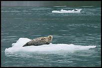 Seal hauled out on iceberg. Glacier Bay National Park, Alaska, USA.