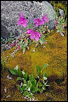 Moss, dwarf fireweed, and rock. Glacier Bay National Park, Alaska, USA. (color)