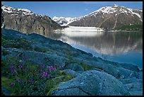 Dwarf fireweed, with Mount Fairweather and Margerie Glacier across bay. Glacier Bay National Park, Alaska, USA.