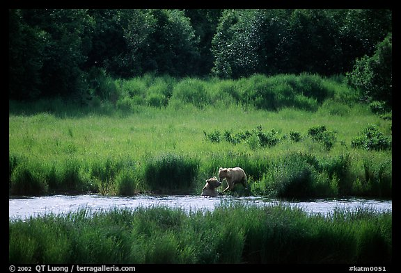 Brown bears in Brooks river. Katmai National Park (color)