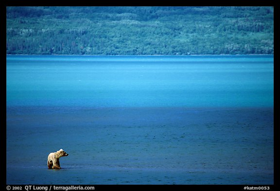 Brown bear in shallows waters of Naknek lake. Katmai National Park (color)