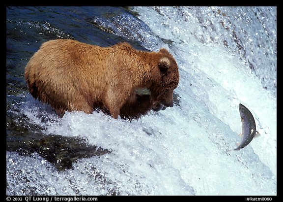 Alaskan Brown bear trying to catch leaping salmon at Brooks falls. Katmai National Park (color)