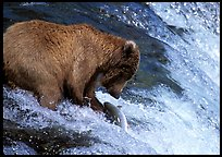 Brown bear (Ursus arctos) catching leaping salmon at Brooks falls. Katmai National Park, Alaska, USA.