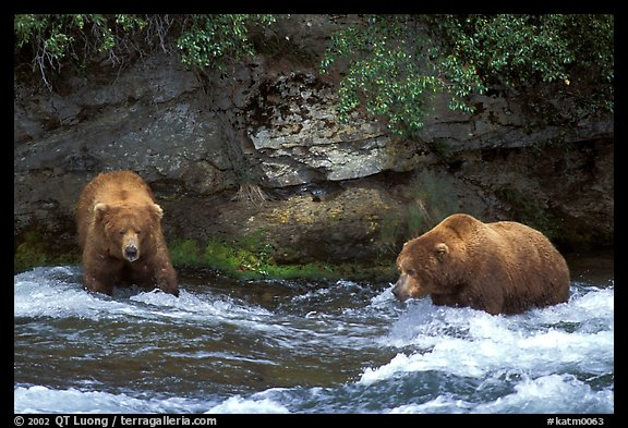 Brown bears (scientific name: ursus arctos) fishing at the Brooks falls. Katmai National Park (color)