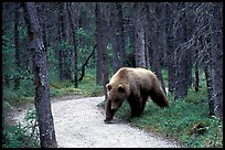 Brown bears encounters on trail are frequent at Brooks camp. Katmai National Park, Alaska, USA. (color)