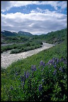 Lupine and Lethe river on the edge of the Valley of Ten Thousand smokes. Katmai National Park, Alaska, USA. (color)