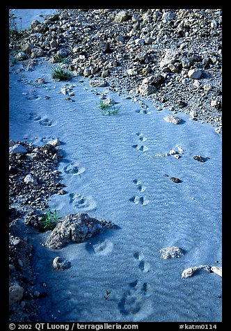 Close-up of animal tracks in fine ash, Valley of Ten Thousand smokes. Katmai National Park (color)
