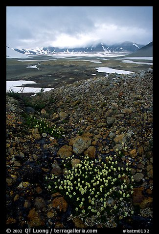 Pumice and wildflowers, Valley of Ten Thousand smokes. Katmai National Park, Alaska, USA.