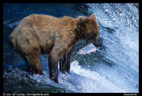 Brown bear holding in mounth  salmon at Brooks falls. Katmai National Park (color)