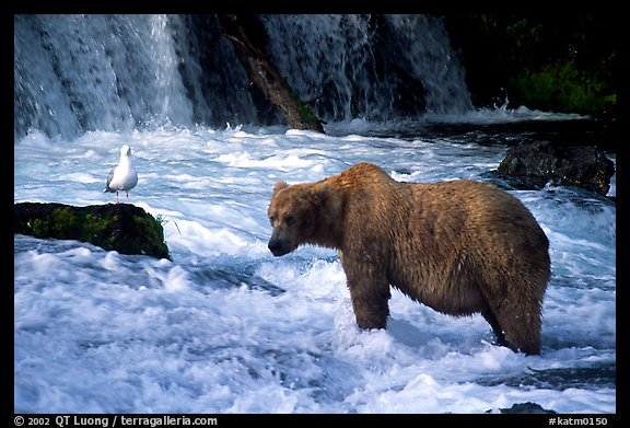 Brown bear and bird at the base of Brooks falls. Katmai National Park (color)