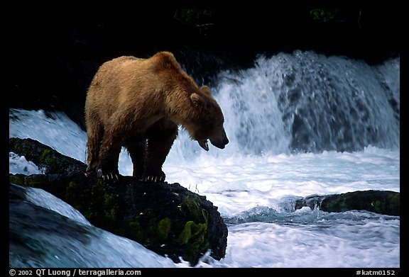 Brown bear standing on rock at Brooks falls. Katmai National Park (color)