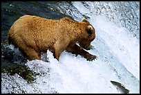 Brown bear extending leg to catch jumping salmon at Brooks falls. Katmai National Park, Alaska, USA.