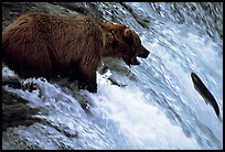 Brown bear (Ursus arctos) trying to catch leaping salmon at Brooks falls. Katmai National Park, Alaska, USA.
