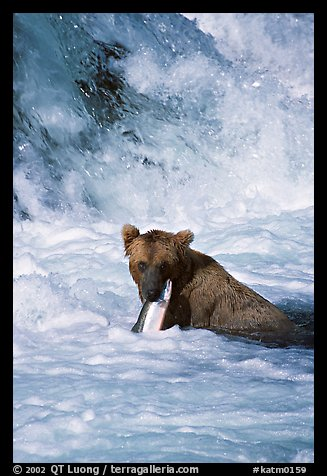 Alaskan Brown bear (scientific name: ursus arctos) chewing salmon at the base of Brooks falls. Katmai National Park (color)