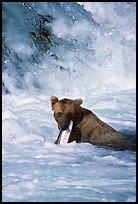 Alaskan Brown bear (scientific name: ursus arctos) chewing salmon at the base of Brooks falls. Katmai National Park, Alaska, USA.