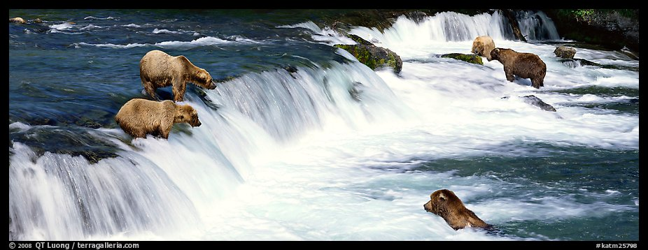 Alaskan Brown bears gathered at Brooks Falls. Katmai National Park (color)
