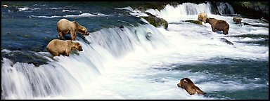 Alaskan Brown bears gathered at Brooks Falls. Katmai National Park (Panoramic color)