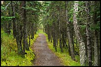 Narrow trail in dark forest, Brooks Camp. Katmai National Park ( color)