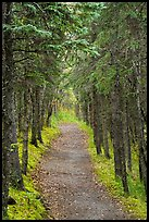 Trail in dense forest, Brooks Camp. Katmai National Park ( color)