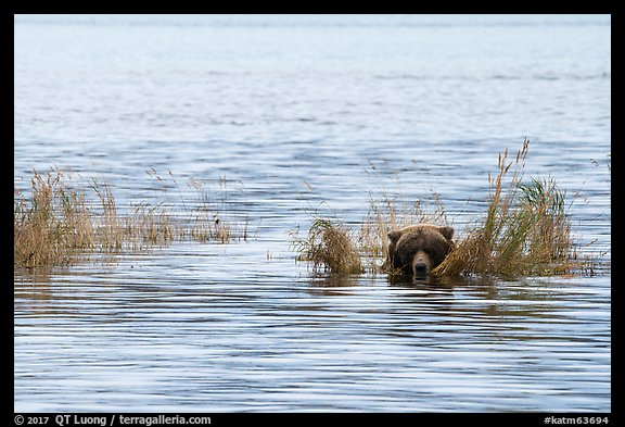 Bear head emerging from rippled water. Katmai National Park (color)
