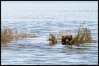 Bear head emerging from rippled water. Katmai National Park ( color)
