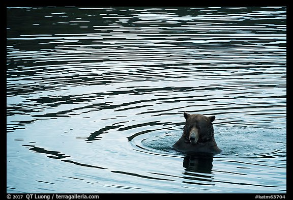 Bear and ripples, Brooks River. Katmai National Park (color)