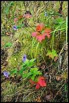 Wildflowers and leaves in autumn color. Katmai National Park ( color)