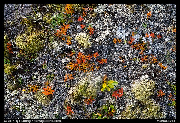 Close-up of autumn tundra. Katmai National Park (color)