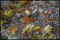 Close-up of autumn tundra. Katmai National Park ( color)