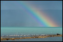 Rainbow, seagulls, and bear, Naknek Lake. Katmai National Park ( color)
