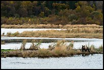 Bear in Brooks River autumn landscape. Katmai National Park ( color)