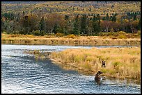 Bears in autumn grasses, Brooks River. Katmai National Park ( color)