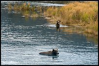 Brown bears swimming, Brooks River. Katmai National Park ( color)