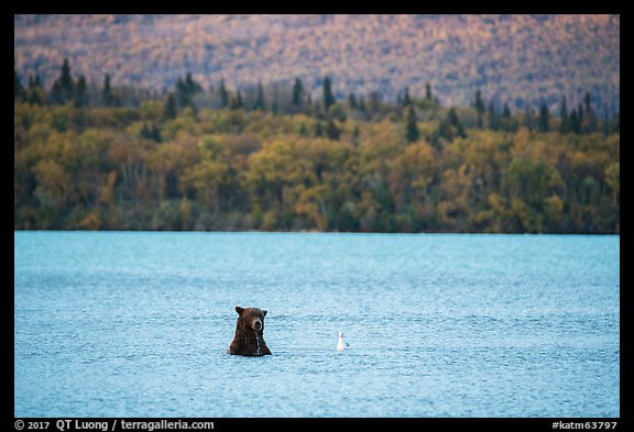 Brown Bear and seagull, Naknek Lake. Katmai National Park (color)