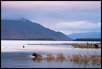 Bears, Naknek Lake, sunset. Katmai National Park ( color)