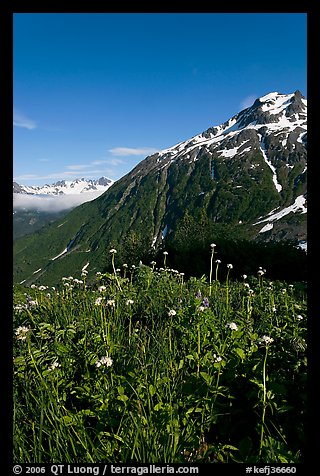 Wildflowers and peak. Kenai Fjords National Park (color)