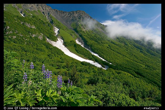 Lupine, neve, and verdant mountain slopes. Kenai Fjords National Park (color)