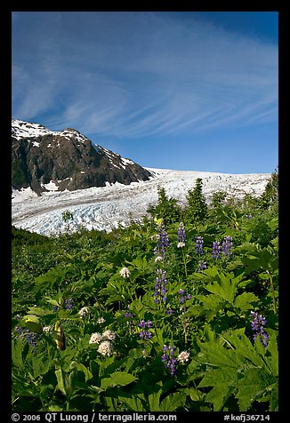 Wildflowers and Exit Glacier. Kenai Fjords National Park (color)