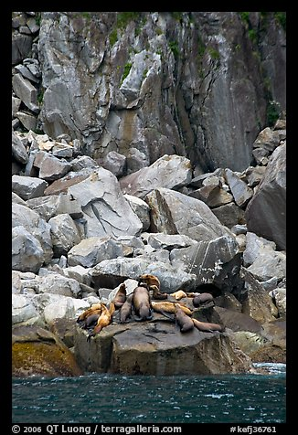 Stellar sea lions hauled out on rock. Kenai Fjords National Park (color)