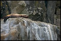 Stellar sea lion sleeping on rock. Kenai Fjords National Park ( color)