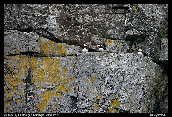 Puffins on rock wall. Kenai Fjords National Park (color)