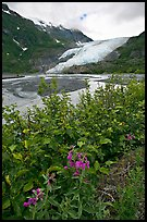 Dwarf fireweed and Exit Glacier. Kenai Fjords National Park ( color)