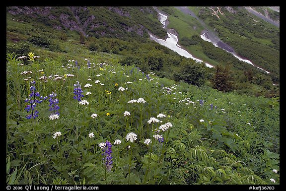 Lupine and white flowers, and neve, Marmot Meadows. Kenai Fjords National Park (color)