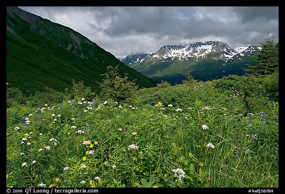 Wildflowers in Marmot Meadows and Resurection Mountains. Kenai Fjords National Park (color)
